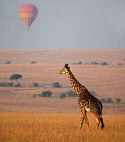 Giraffe with Hot Air Balloon